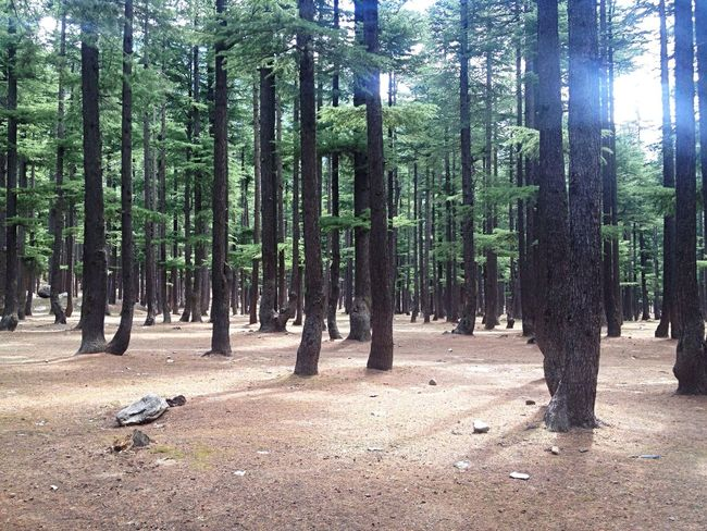 Nature_collection Pakistan Nature Photography Nature Photography Amazing Roads In The Forest Ancient Tree Forest Woodscapes Woods Pine Trees Pine