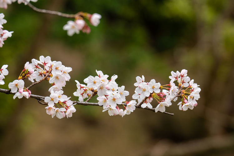 Flower Flowering Plant Plant Freshness Fragility Vulnerability  Beauty In Nature Growth Tree Close-up White Color Petal Focus On Foreground Springtime Branch Blossom Day Flower Head Nature Twig No People Outdoors Cherry Blossom Pollen Cherry Tree