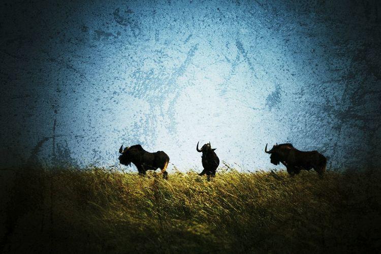 Wildebeest in grassland First Eyeem Photo