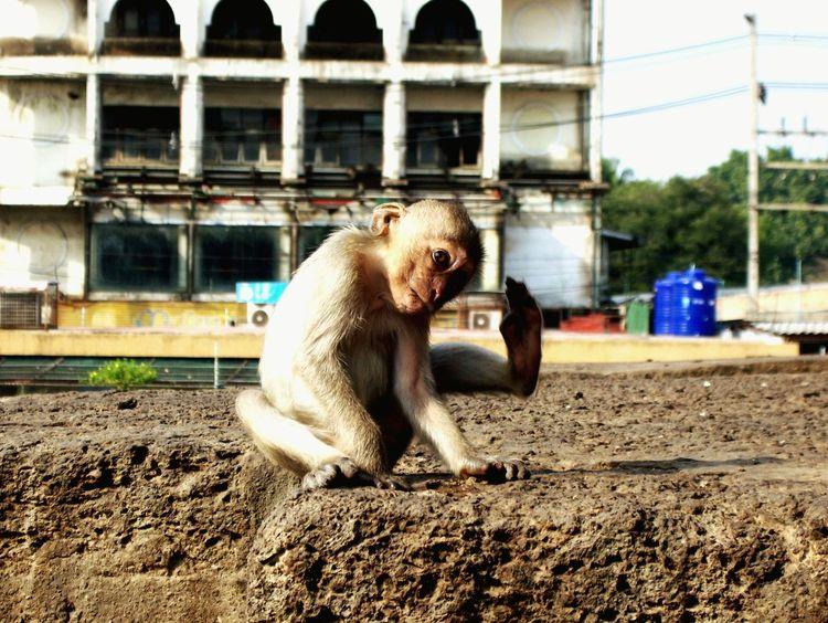 Thailand City Monkey Lopburi Thailand Long Goodbye
