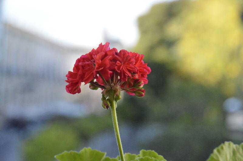 Rojas Flower