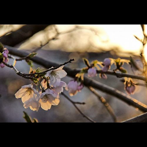 Sunset blossoms