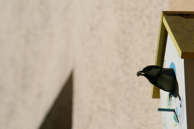 Great titmouse on a kiwi plant is bringing food for its offspring. Bird Bird Photography Bird Watching Birds Birds In Flight Birds Of EyeEm  Birds_collection Birds_n_branches Birds🐦⛅ Birdwatching Great Titmouse