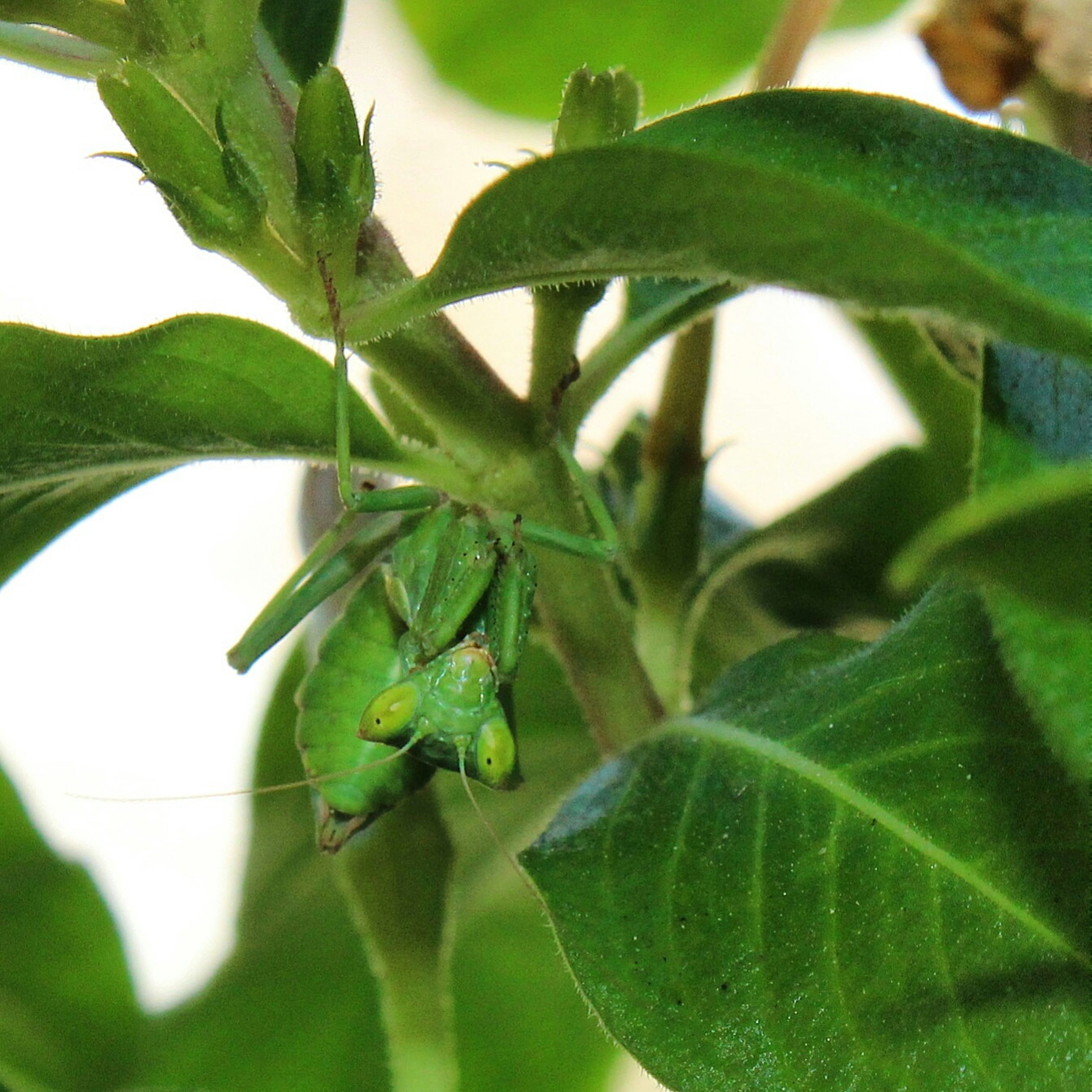 leaf, green color, close-up, plant, growth, nature, focus on foreground, green, selective focus, animal themes, insect, animals in the wild, one animal, leaves, leaf vein, wildlife, no people, day, branch, outdoors
