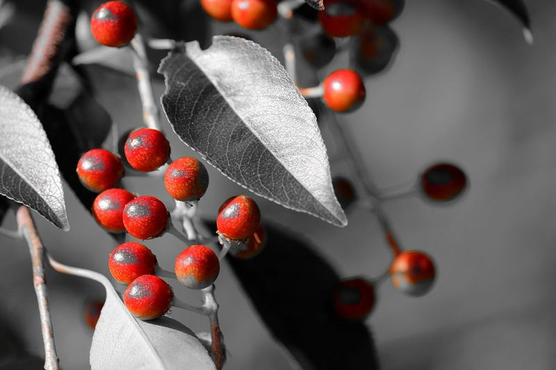 Nature Nature Photography Tree Berry Berry Bushes Berry Fruit Berry Trees Berrys Close-up Day Focus On Foreground Food Freshness Fruit Hanging Healthy Eating Indoors  Naturephotography No People Red