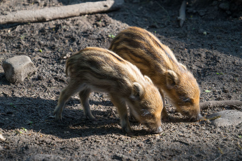 View of two animals on land