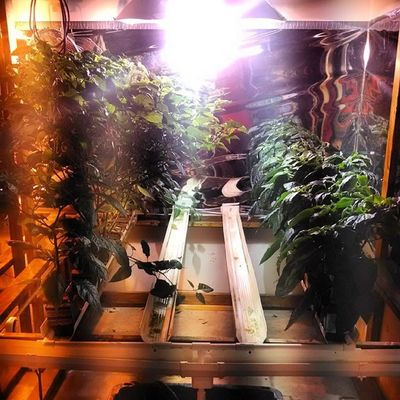 A bit hard to see because of the light reflections but the Scotch Bonnet Habaneros are nearly 3ft & the Choco Bell Pepps are about 1 1/2ft. Both are flowering. Hydroponics Hydroculture Gardening Hydro plants peppers habaneros bellpeppers green indoor nft nutrient film technique flowering hot