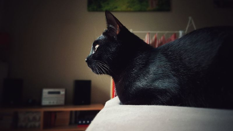 One Animal Domestic Animals No People Close-up Day Domestic Cat Indoors  Animal Themes Mammal Pets Black Cat Black Cat Photography Black Cats Are Beautiful