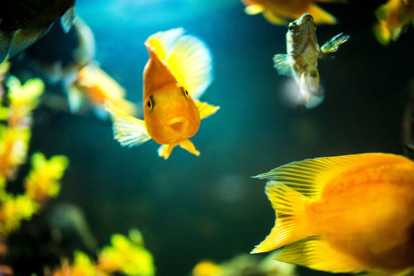 Animal Themes Animal Wildlife Animals In The Wild Aquarium Beauty In Nature Close-up Clown Fish Day Fish Focus On Foreground Goldfish Indoors  Large Group Of Animals Nature No People Sea Life Swimming UnderSea Underwater Water Yellow