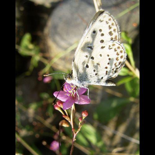 _Pseudozizeeria maha_ Hairstreak Blue Butterfly Insect