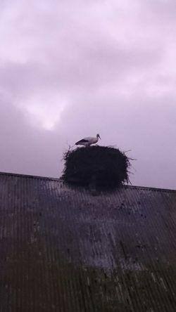 Stork in novemer in Sweden Sweet♡