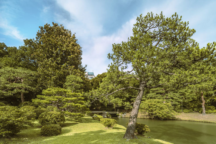 Big pine tree on a lawn under the blue sky and large stone bridge on a pond in japan.