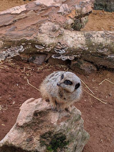 Lonely meerkat