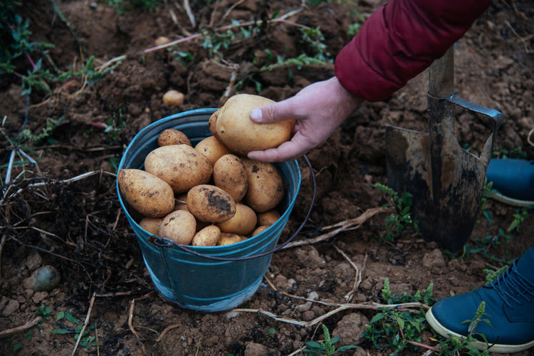 Closeup view of farmer harvesting potatoes