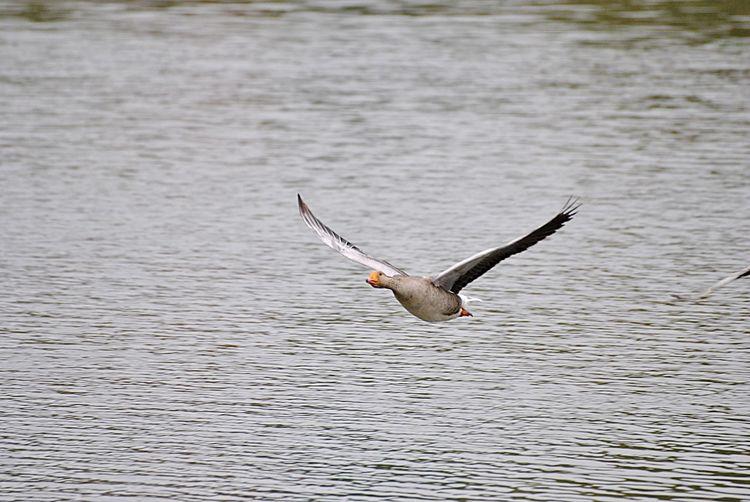 Goose Animal