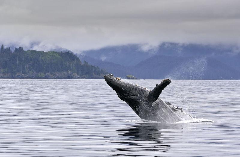 A whale breaching in the alaskan ocean with water splash Humpback Sealife USA Alaska America Animal Breach Breaching Cetacean Mammal Nature Ocean Outdoors Sea Splash Tail Water Whale Wild Wildlife