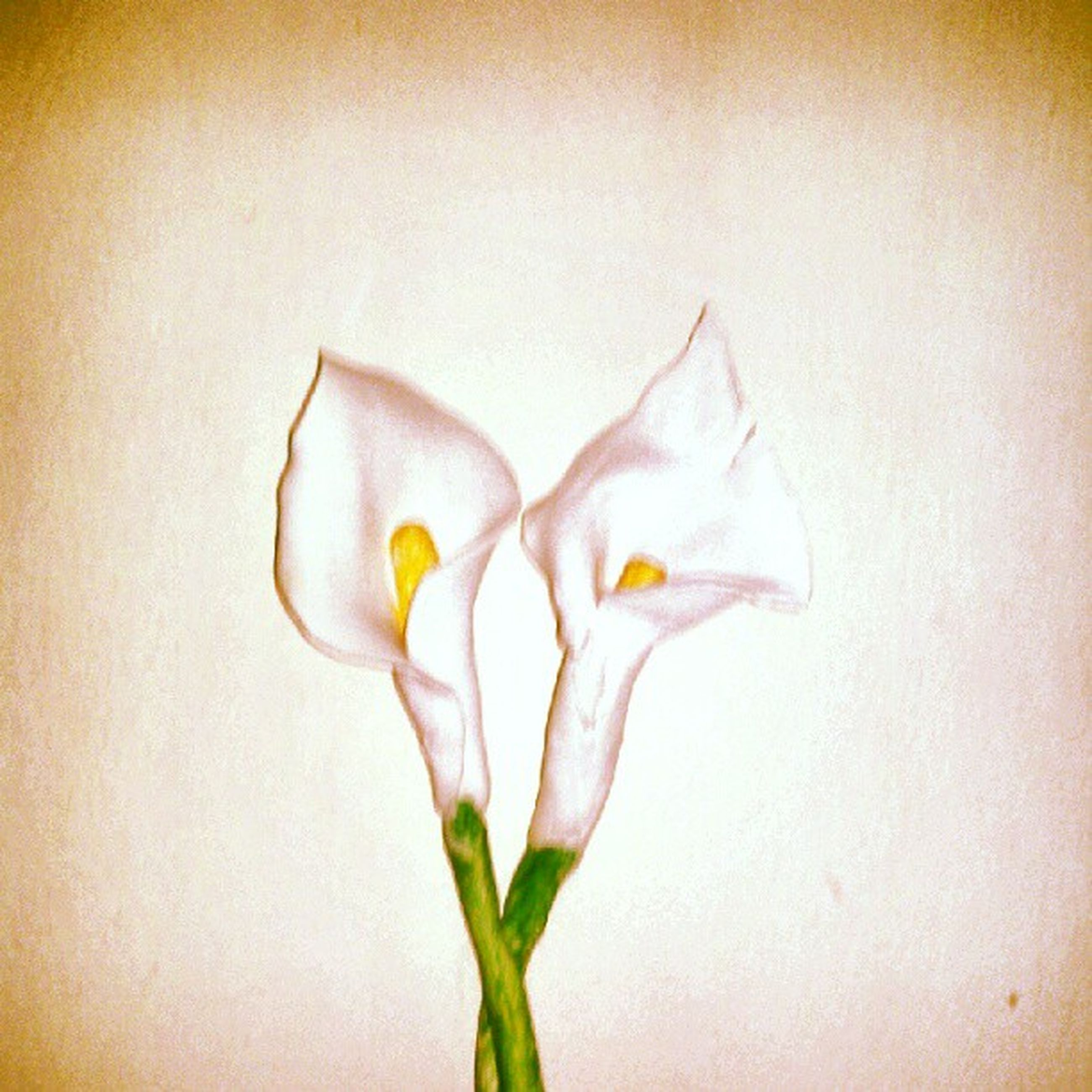 flower, petal, flower head, fragility, freshness, white color, close-up, indoors, studio shot, wall - building feature, stem, beauty in nature, plant, white, growth, single flower, white background, nature, copy space, leaf