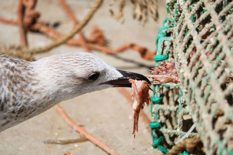 Close-up of seagull eating a fish