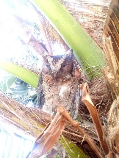 kamuflase Animal Bird Tree Palm Tree Owl Close-up Coconut Palm Tree