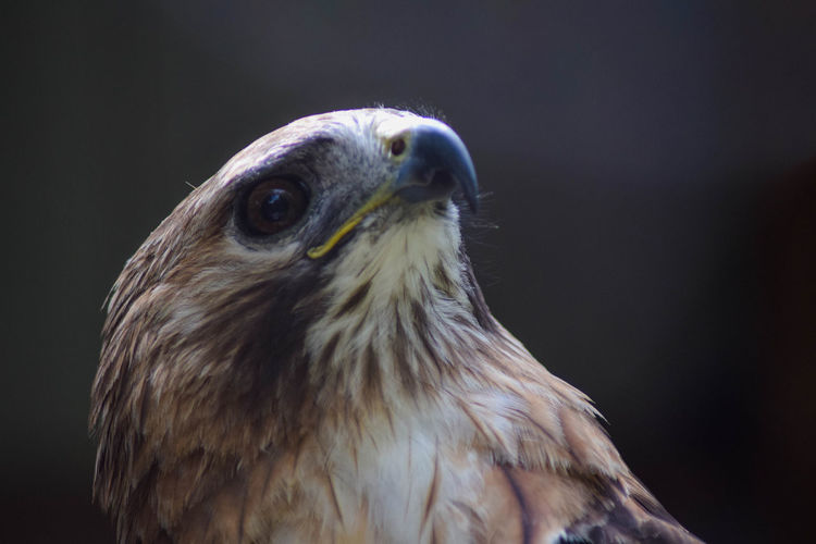 This is a close up I took of a Red Tailed Hawk over the weekend Animal Animal Eye Animal Hair Animal Head  Animal Themes Beak Beauty In Nature Bird Bird Of Prey Black Background Close-up Focus On Foreground Looking Away Nature No People One Animal Studio Shot Zoology