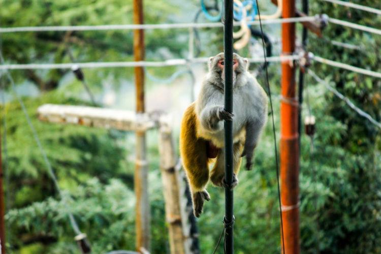 Monkey One Animal Animal Themes Balance And Composure Monkey Mcloedganj Shot From The Hotel Window