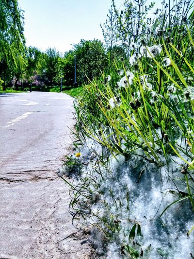 Snow dandelions on the road Outdoors Day No People Road Nature Sky Beauty In Nature Park Dandelion Freshness Tranquility Springtime Dandelion Field Dandelion Collection Dandelion Wishes Dandelions Dandelion In Spring Dandeliongreens Dandelion Flowers Dandelionfluff Dandelions Bloom Dandelionheart Dandelion Seeds Grass Lake
