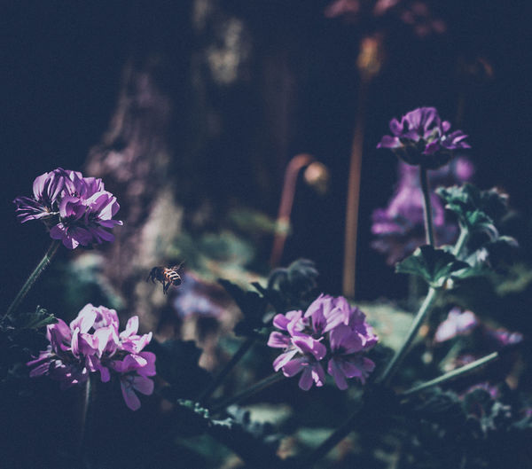 Flower Nature Plant Fragility Pink Color Freshness Beauty In Nature No People Petal Flower Head Close-up Leaf Outdoors Bee In Flight Shallow Depth Of FieldNature Plant Leaves Light And Shadow Flower Buds Purple Flowers Mystical Garden Growth