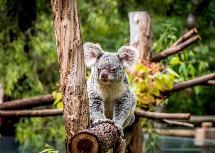 Portrait of young koala sitting on wood