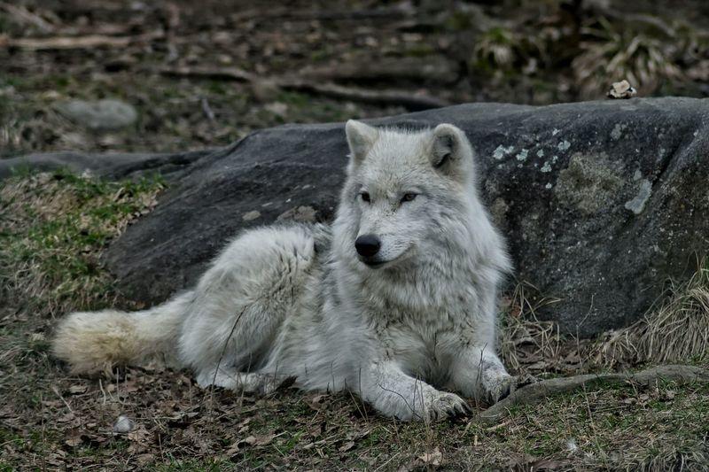 Wolf White