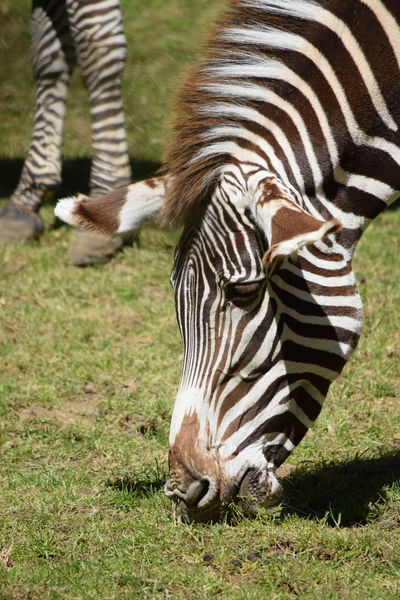 zebra Animal Markings Animal Themes Animal Wildlife Animals In The Wild Close-up Day Field Grass Mammal Nature No People One Animal Outdoors Safari Animals Striped Zebra