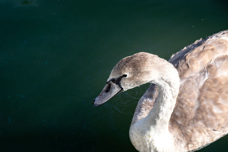 A yearling swan - hardly a cygnet anymore