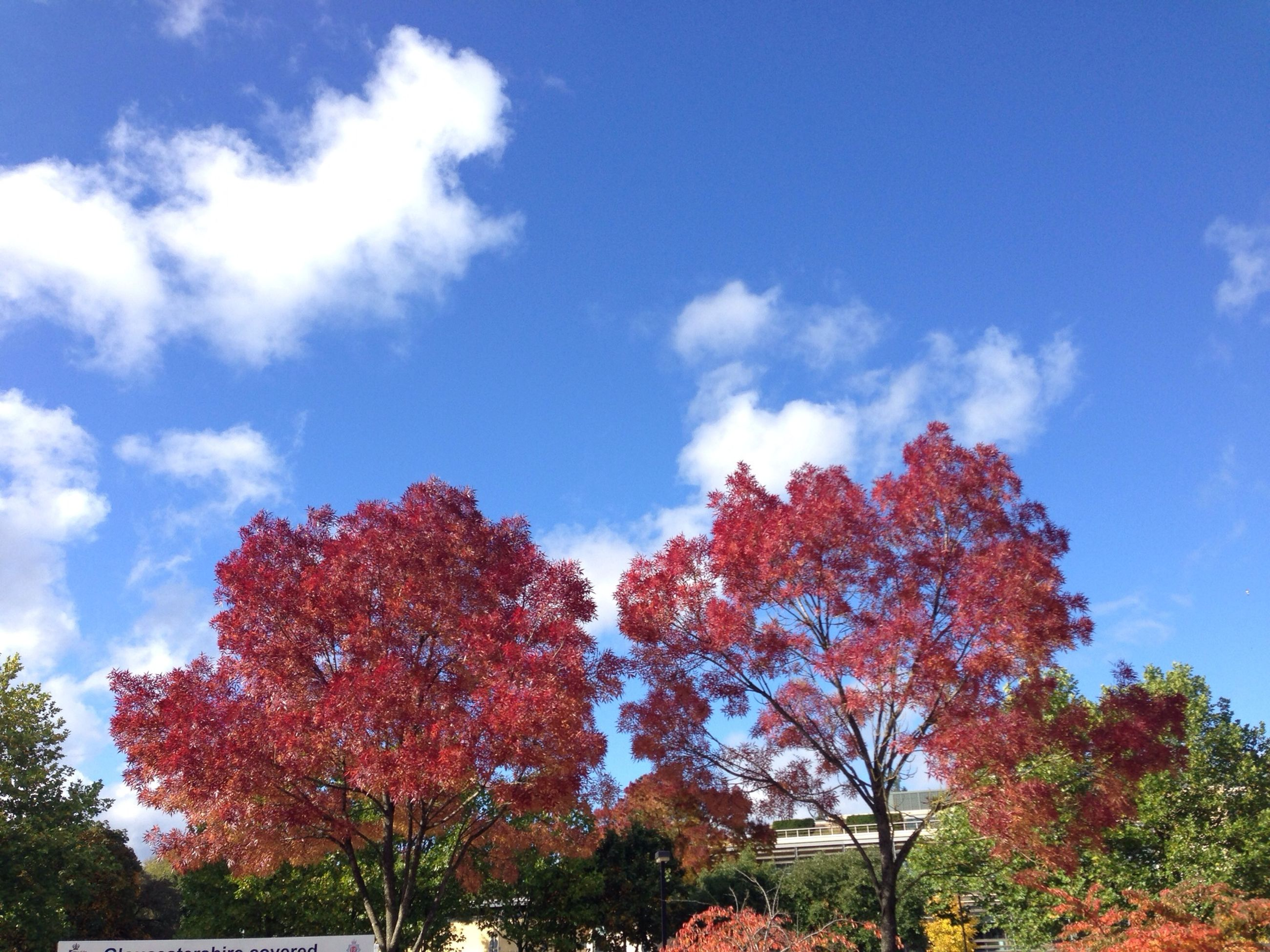 tree, low angle view, sky, autumn, blue, beauty in nature, cloud - sky, growth, change, nature, tranquility, branch, cloud, season, scenics, tranquil scene, day, red, outdoors, no people
