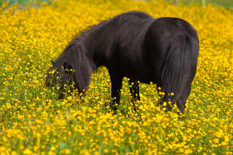 Beauty In Nature Black Pony Blooming Buttercups Crowfoots Dandelion Eating Field First Eyeem Photo Flower Food Porn Fragility Grass Growth Guzzle Horizon Over Water Nature Peace Pony Rural Scene Tranquility Yellow The Essence Of Summer- 2016 EyeEm Awards Colour Of Life Pet Portraits Paint The Town Yellow