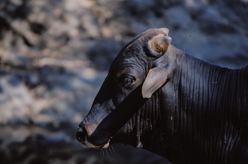 Close-Up Of Cattle