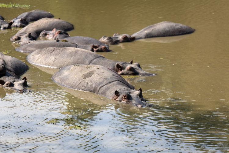 Hippos swimming in lake