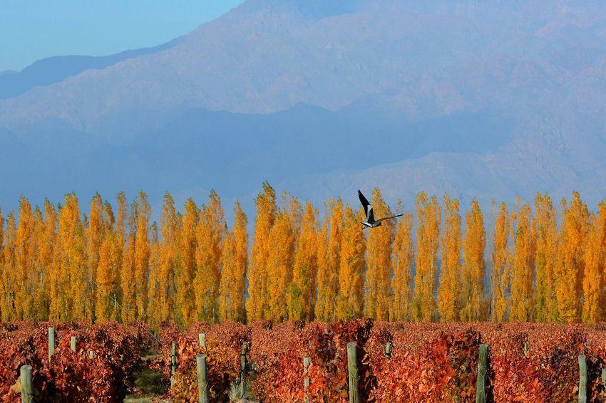 Mendoza Mendoza Argentina Otoño 🍁 Autumn Landscapes Photojournalism Wine