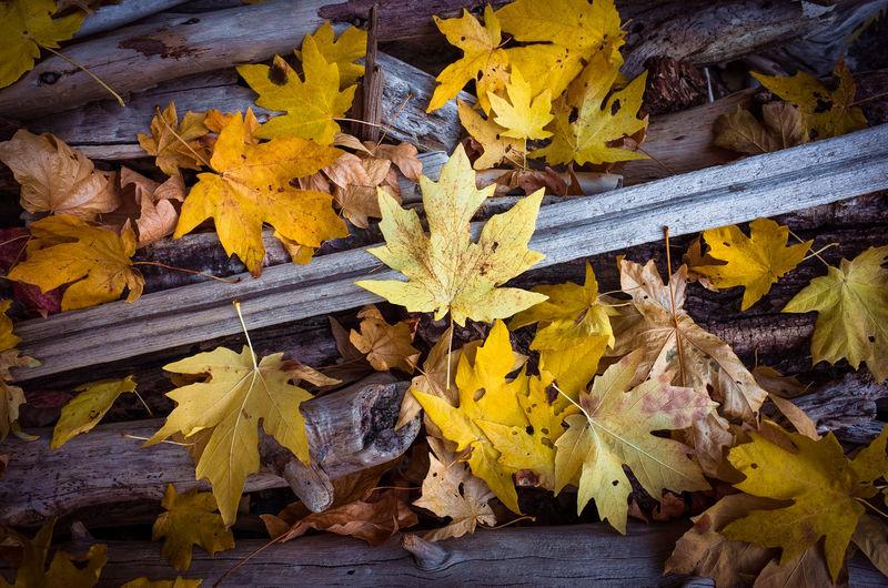 Maple leaves in