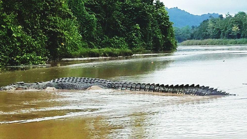 Kinabatangan River Wildlife Crocodile Sabah EyeEm Nature Lover Animal Photography Water Reflections Suburban Landscape Landscape_photography