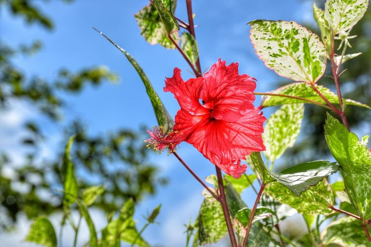 Leaf Red Plant Nature Flower Growth Day Outdoors Fragility Blue Beauty In Nature Low Angle View Flower Head Branch Close-up No People Freshness Sky