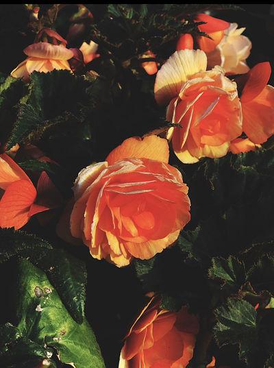 Close-up of orange roses on plant