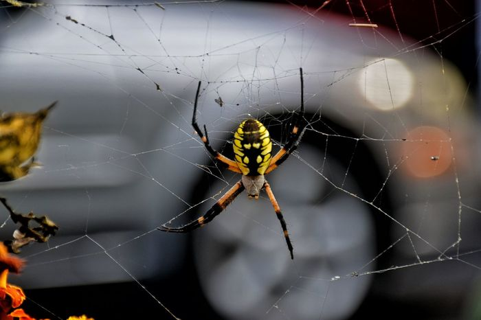 charlotte number two. see she is missing a leg. Argiope Argiope Argiopelove Spider Web Spider Close-up Spinning Survival Complexity Fragility Eyeem This Week Mystyle Everythingisbeautiful Godsartwork EyeEm Best Shots EyeEm Best Shots - Nature EyeEm Nature Lover Happigramma Thesmallestlittlethings CharlottesWeb Ilovephotography Iseeinpictures Myperspective Itsy Bitsy Spider Gettyimages argiopelove