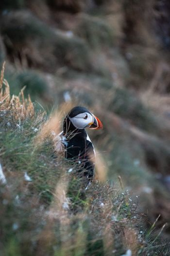 Puffin at Fowlsheugh Aberdeenshire Scotland Visit Scotland Scottish Scenery Nature Outdoors Puffin Crawton Fowlsheugh RSPB Bird Seabirds Water Insect Close-up Sky Wildlife Wild Animal Avian