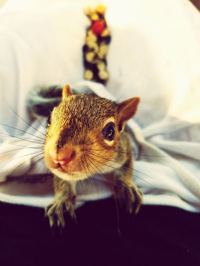 Squirrels gone wild Baby Squirrel Big Eyes Rehabilitating Temporary Mother Baby Hood Fur Baby Remy Animal Photography Feeding Time Cuddle Time ❤ Nature Vs Nurture Animals In The Wild Mammal Curiosity Close-up