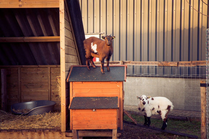 Goats on a care farm Goat Goats Animal Themes Barn Care Farms Day Domestic Animals Goatfarm Goats On The Farm Livestock Looking At Camera Mammal Nature No People Outdoors Pets Petting Animals Petting Zoo Pettingfarm Young Animal