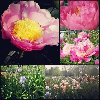 Such a peaceful walk at the park today. The blooming peonies and iris literally made me smile. Sunnysunday Spring Naturenerd