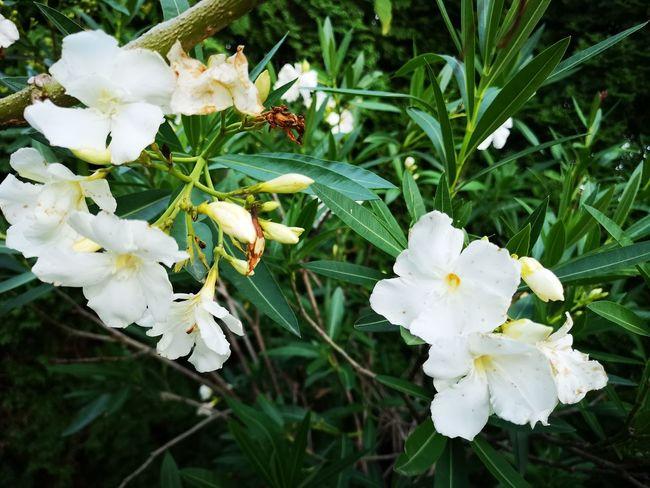 Flower Head Flower White Color Petal Close-up Plant Flowering Plant Botanical Garden First Eyeem Photo
