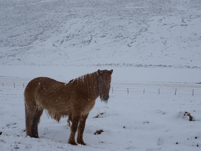 Innsbruck Islandpferd  Pony Animal Animal Themes Animal Wildlife Claudia Ioan Cold Temperature Covering Domestic Domestic Animals Extreme Weather Field Herbivorous Horse Iceland_collection Land Livestock Mammal Mountain No People One Animal Outdoors Pets Snow Snowcapped Mountain Snowing Standing Vertebrate White Color Winter