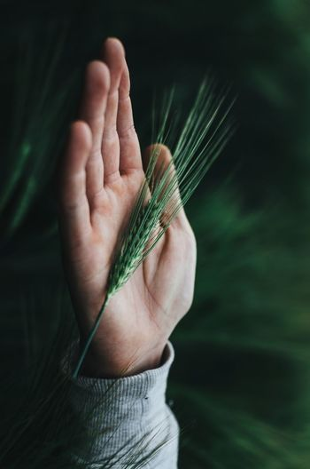 Close-up of cropped hand holding wheat plant