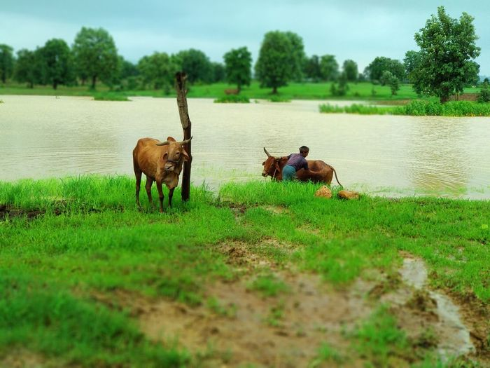 Tree Rural Scene Water Agriculture Field Lake Full Length Sky Grass Landscape Domestic Cattle