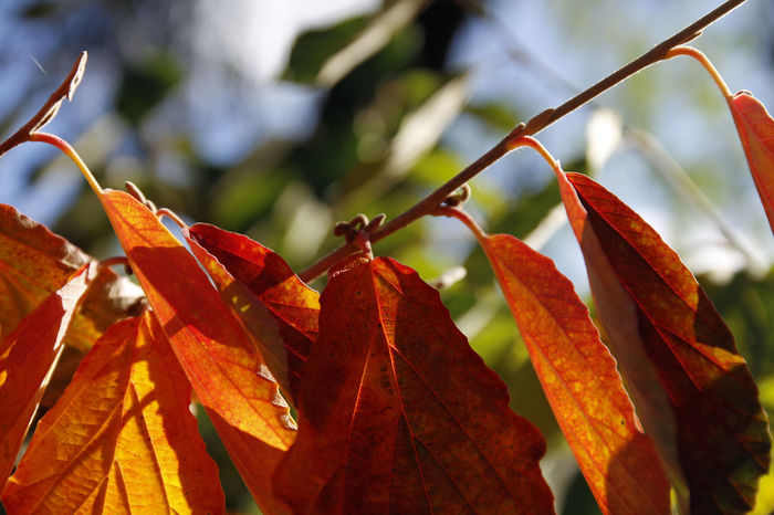 the colours of nature... Autumn Beauty In Nature Change Close-up Day Dry Focus On Foreground Growth Leaf Maple Nature No People Orange Color Outdoors Plant Red Witch Hazel